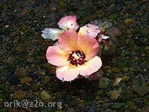 Floating flower @ Wainapanapa State Park